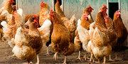 Комбикорм для птицеводства со скидкой  (дисконтом) Полоцк КХП